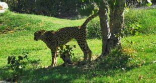 Parco Zoo di Falconara-giaguaro