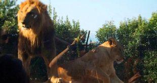 Leoni allo zoo di Facolnara