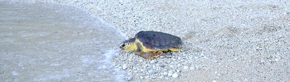 Rilascio della tartaruga - Foto dal sito www.numanacittadelletartarughe.it/