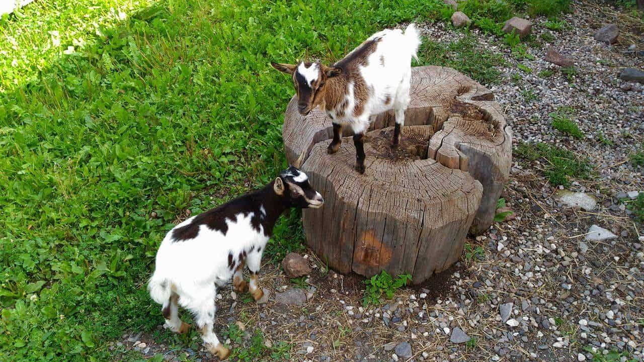 Al maso con bambini: caprette all'Oberglarzhof a Funes