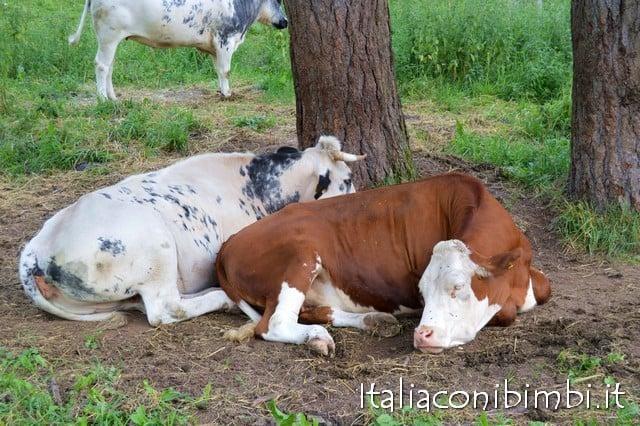 Mucche ad Asiago
