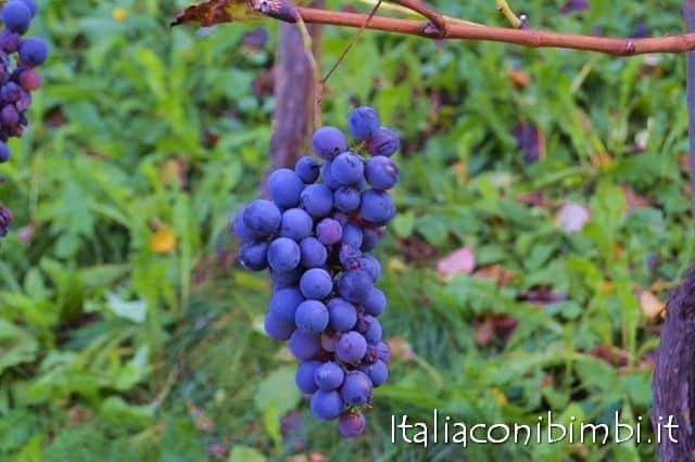 Uva delle vigne marchigiane