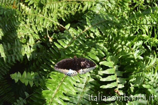 farfalla-alla-butterfly-house-collodi