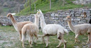 alpaca all'agriturismo Maridiana Umbria
