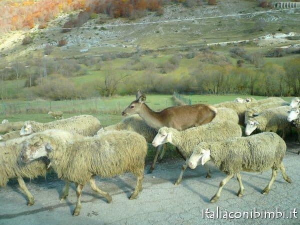 Pecore e daino nel Parco Nazionale d'Abruzzo