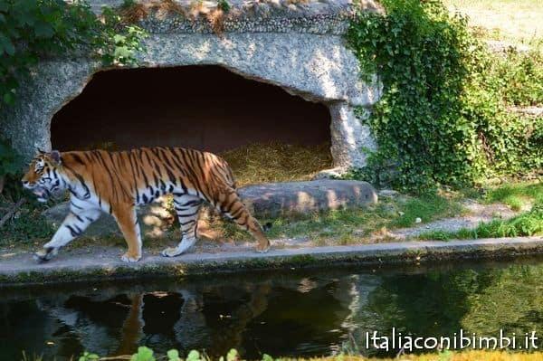 tigri allo zoo di Monaco