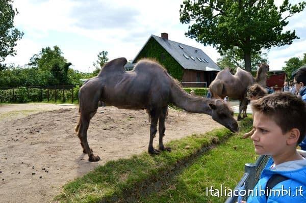 cammelli allo Zoo di Copenaghen
