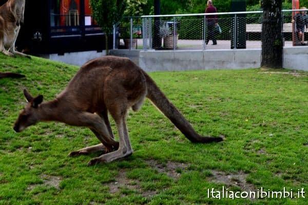 canguro allo zoo di Copenaghen