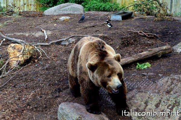 orso bruno allo zoo di Copenaghen