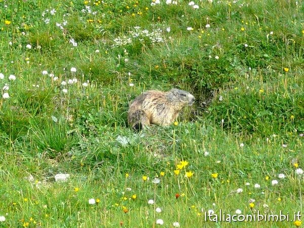 marmotta in Valtellina