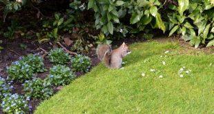 scoiattoli a Kensington Gardens