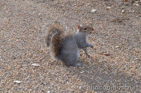 scoiattolo a Kensington Gardens
