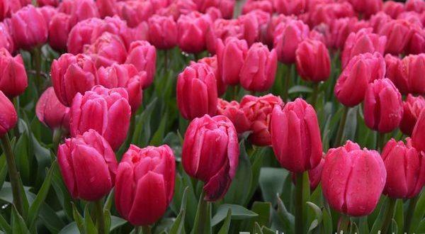 tulipani al Keukenhof