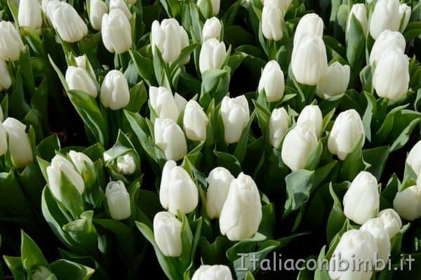 tulipani bianchi al Keukenhof