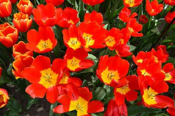 tulipani del Keukenhof Olanda