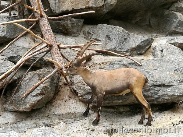 stambecco zoo di Innsbruck