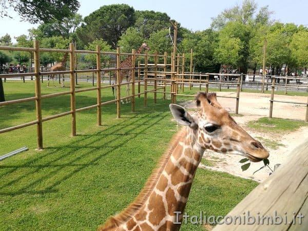 incontro con le giraffe al parco zoo Punta Verde di Lignano