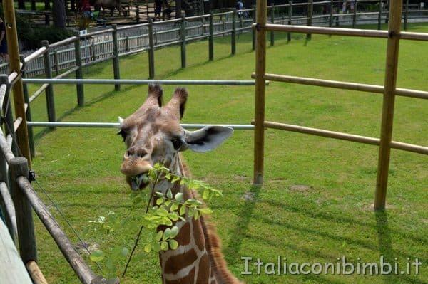 incontro con la giraffa al parco zoo Punta Verde di Lignano