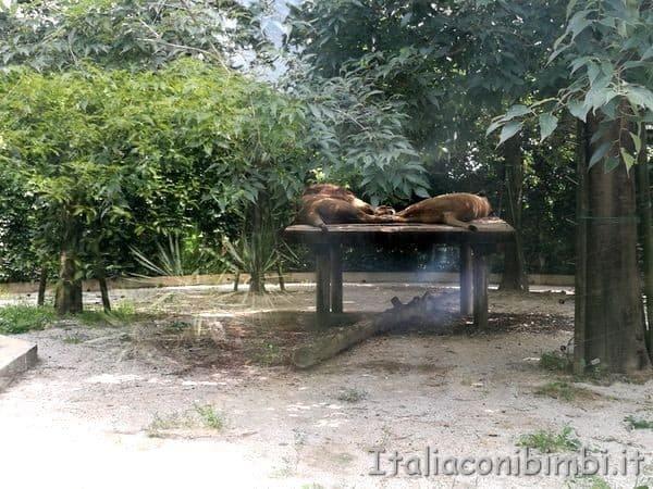 leoni-al-parco-zoo-Punta-Verde-di-Lignano