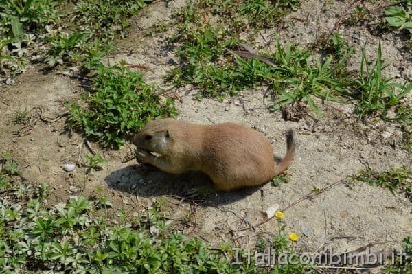marmotta al parco zoo Punta Verde di Lignano