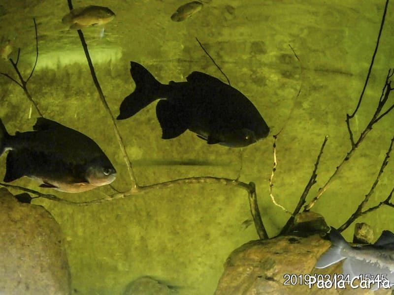 Sardegna in miniatura - piranha