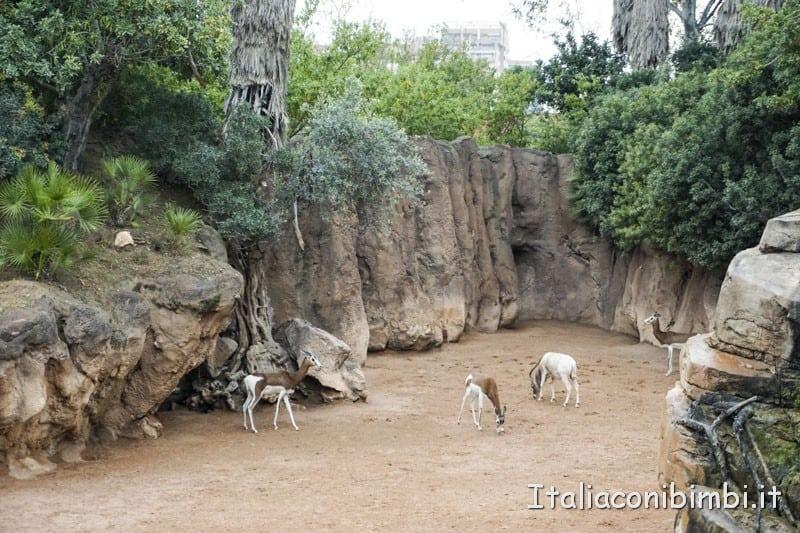 Bioparco di Valencia- gazzelle