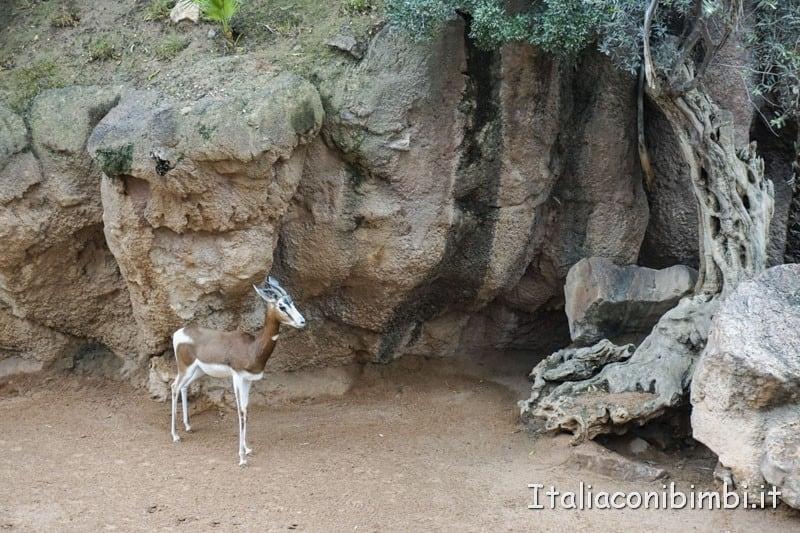Bioparco di Valencia- gazzelle_1