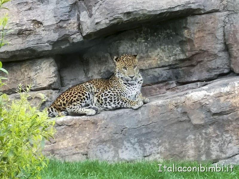 Bioparco-di-Valencia-ghepardo