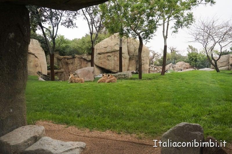 Bioparco di Valencia- leonesse
