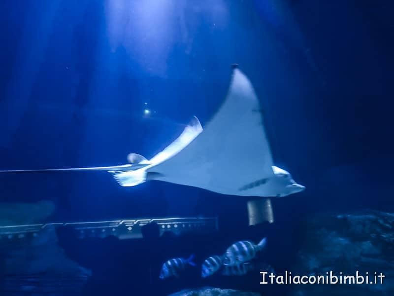 Oceanografico di Valencia - razza gigante