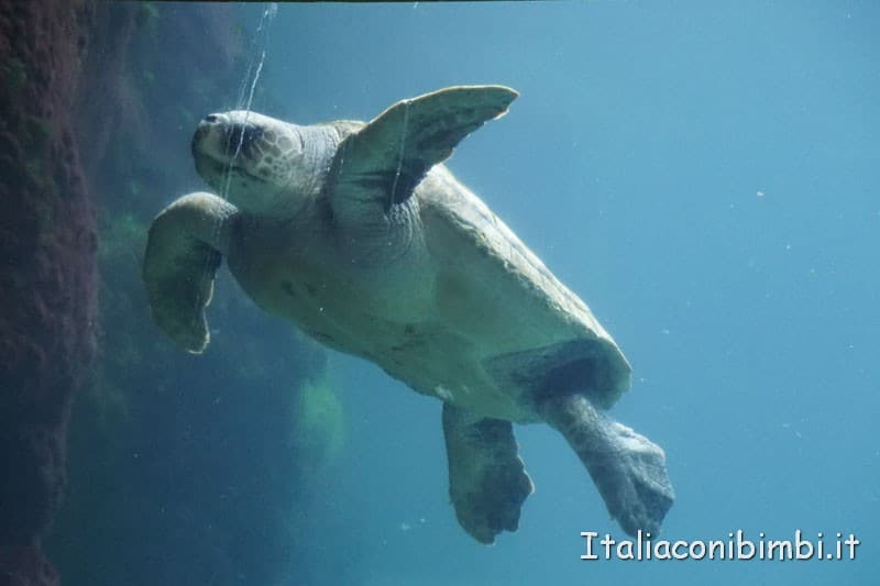 Oceanografico di Valencia - tartaruga