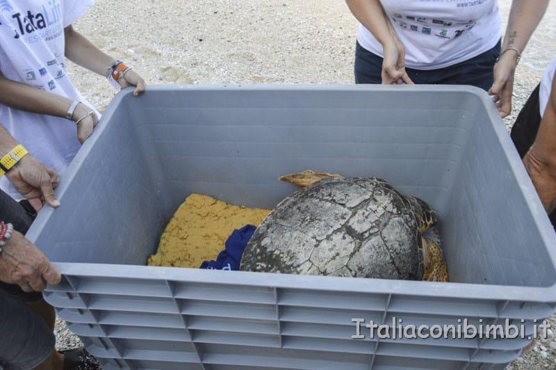 Rilascio della tartaruga spiaggia delle due sorelle - trasporto della tartaruga sulla spiaggia