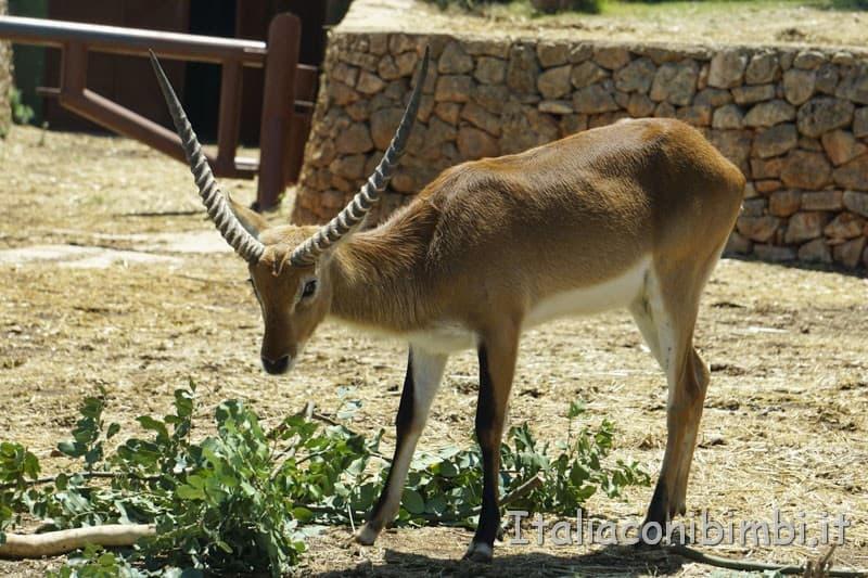 Zoo safari di Fasano - antilope