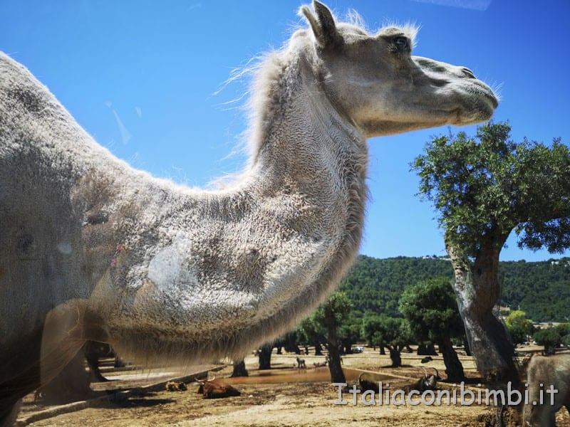 Zoo-safari-di-Fasano-cammello-verso-la-nostra-auto