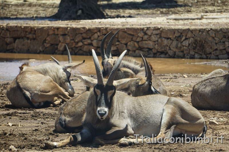 Zoo safari di Fasano - capre