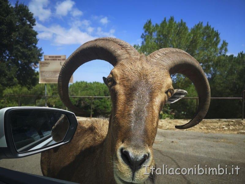 Zoo-safari-di-Fasano-caprone