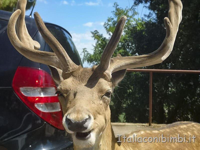 Zoo-safari-di-Fasano-cervo-vicino-alla-nostra-auto