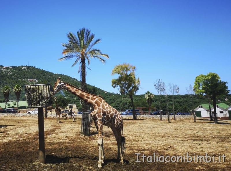 Zoo safari di Fasano - giraffa che mangia