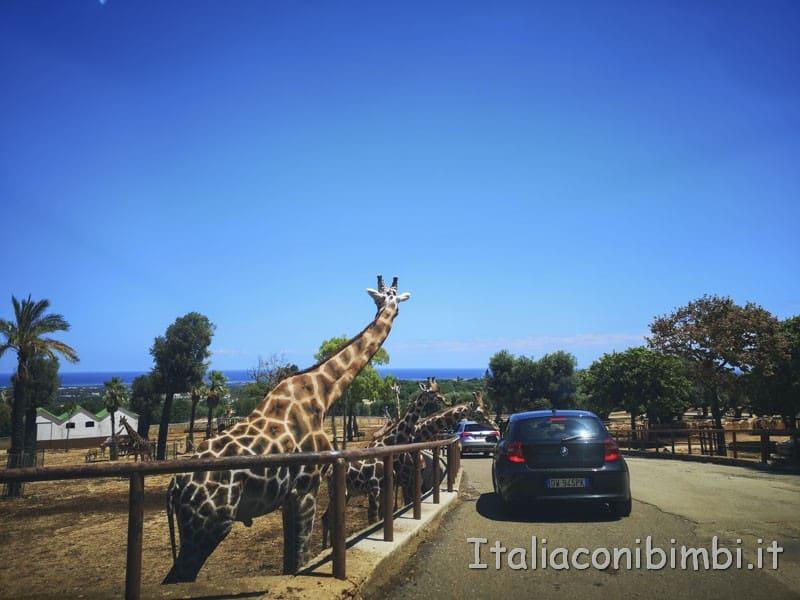 Zoo-safari-di-Fasano-giraffa-verso-le-auto