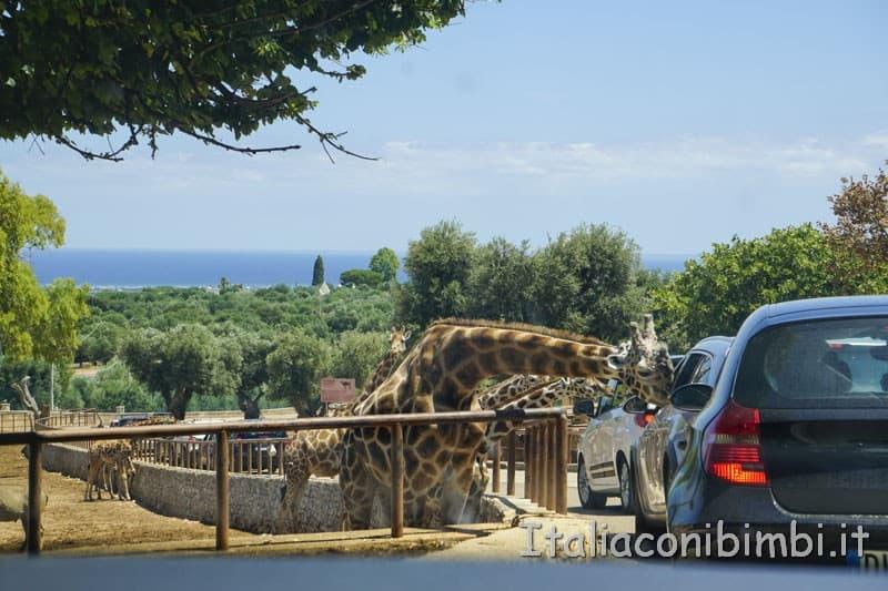 Zoo safari di Fasano - giraffe sulle macchine