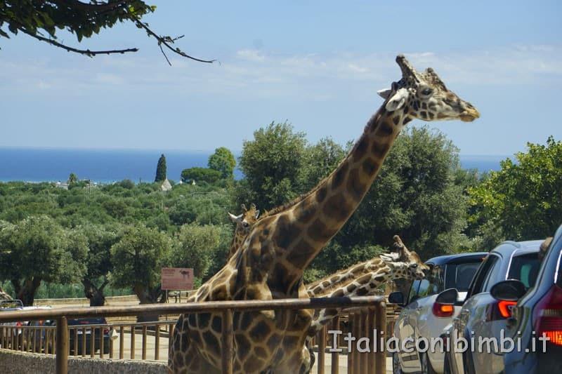 Zoo safari di Fasano - giraffe