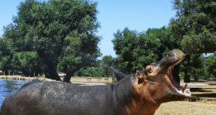 oo-safari-di-Fasano-ippopotamo