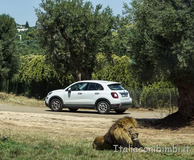 Zoo safari di Fasano - leone