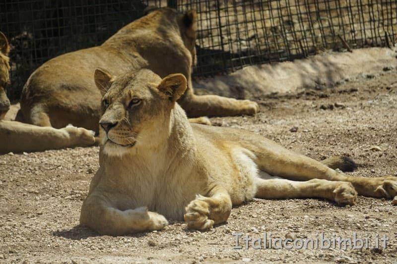 Zoo safari di Fasano - leonessa