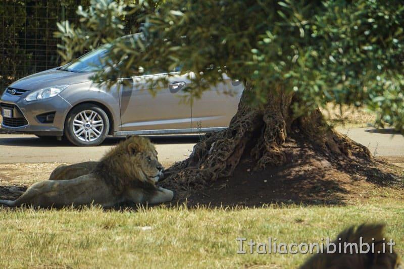 Zoo safari di Fasano - leoni