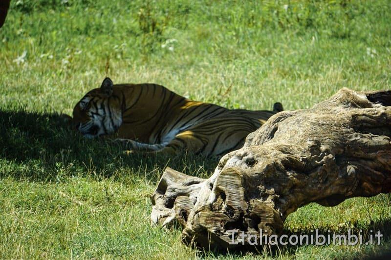 Zoo safari di Fasano - tigre che dorme