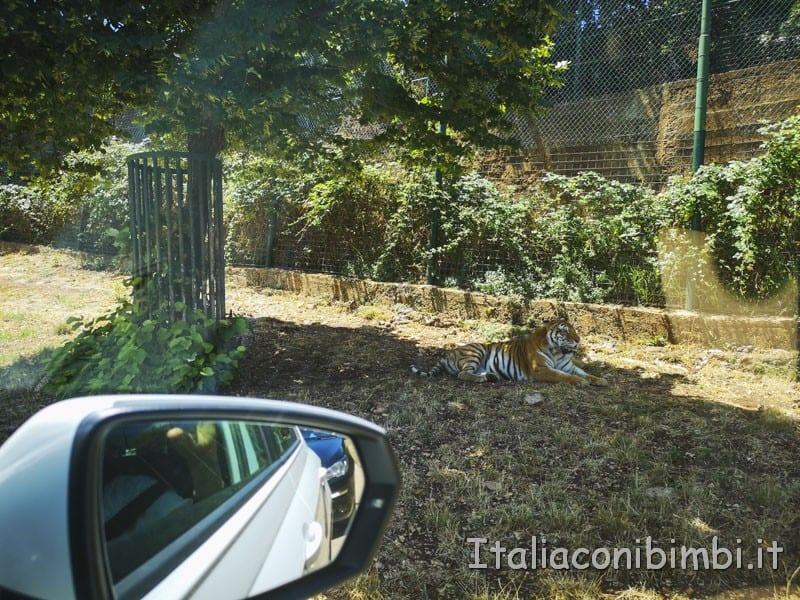Zoo-safari-di-Fasano-tigre