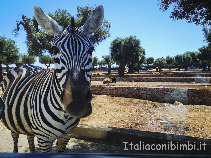 Zoo safari di Fasano - zebra verso la nostra auto