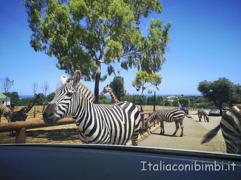 Zoo safari di Fasano - zebre verso la nostra auto