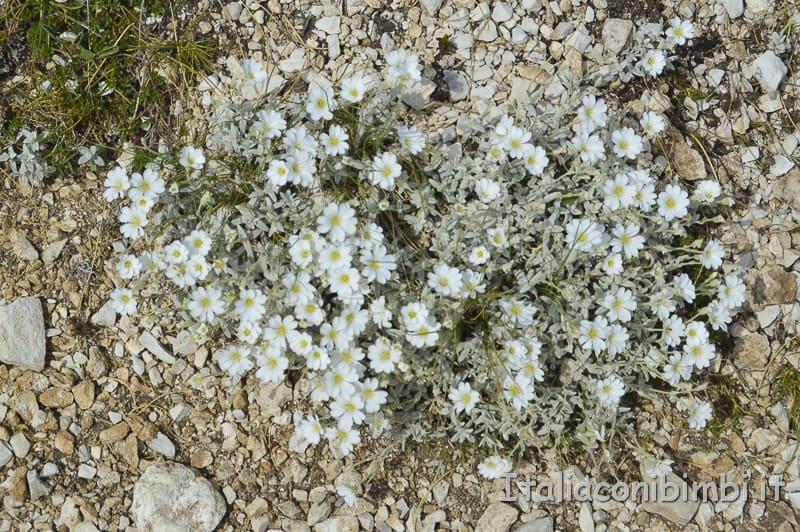 Campo Imperatore- fiorellini bianchi